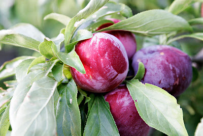 The benefits of Plum fruit for bone health