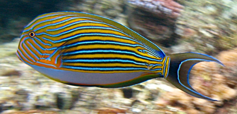 Peces y plantas ornamentales acanthurus lineatus pez for Manual de peces ornamentales