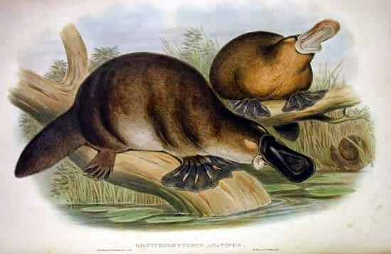 Platypus Sketch