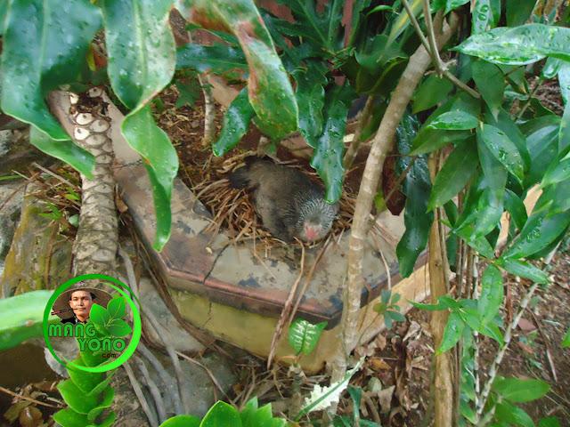 FOTO : Induk ayam setia mengerami telurnya, walau turun hujan sangat lebat