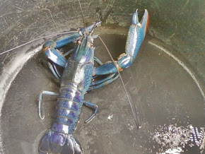 Di jual lobster biru