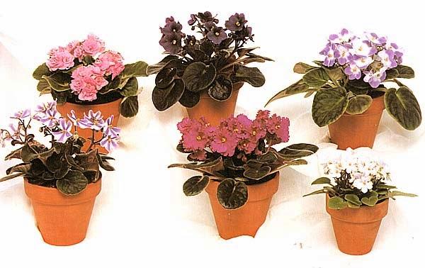 Сенполии с разнообразной окраской и формой цветков, в том числе махровые