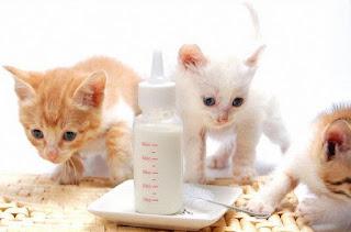 Cara Merawat Kucing Persia Flatnose Peaknose Dan