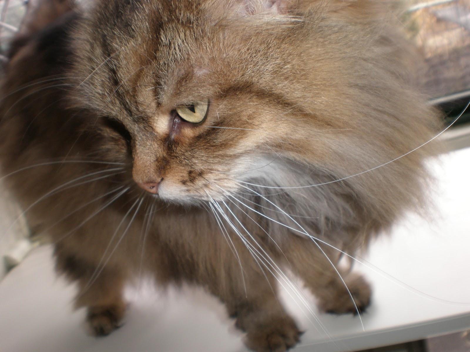 Cooinda Cat Resort - Kitty Kapers: Cat Breeds: Siberian Forest