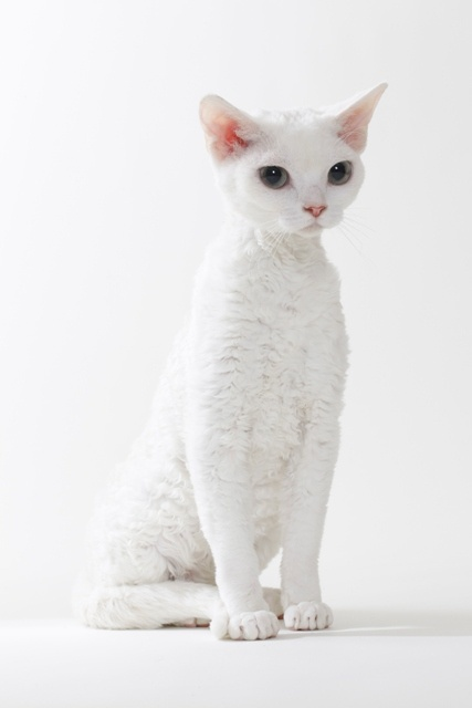 How to Groom a Devon Rex Cat?