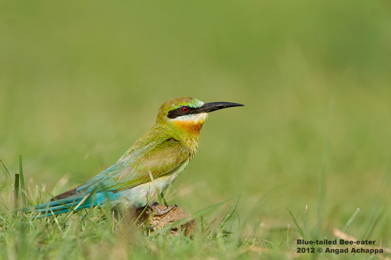 Blue Tailed Bee Eater Migration Blue-tailed Bee-eater Merops