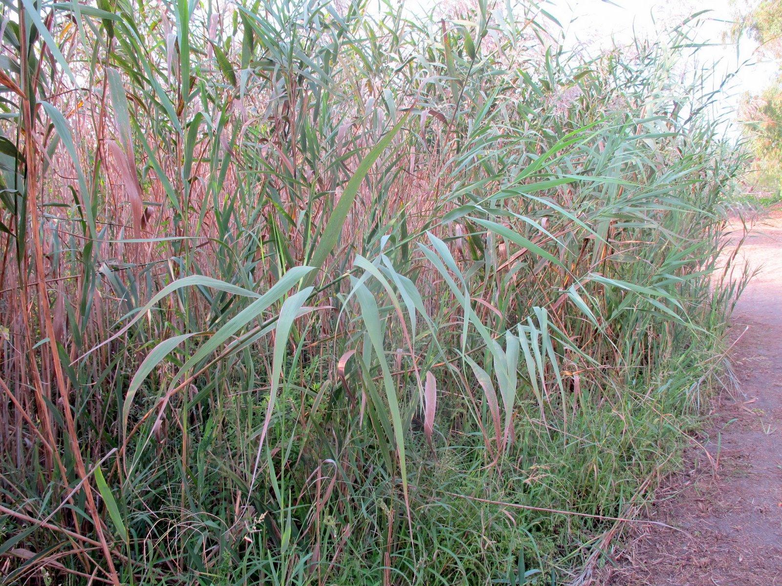1 x Eragrostis trichoides Arco-AMORE erba ornamentali erba//erba//piante perenni