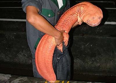 Foto Chinese Giant Salamander