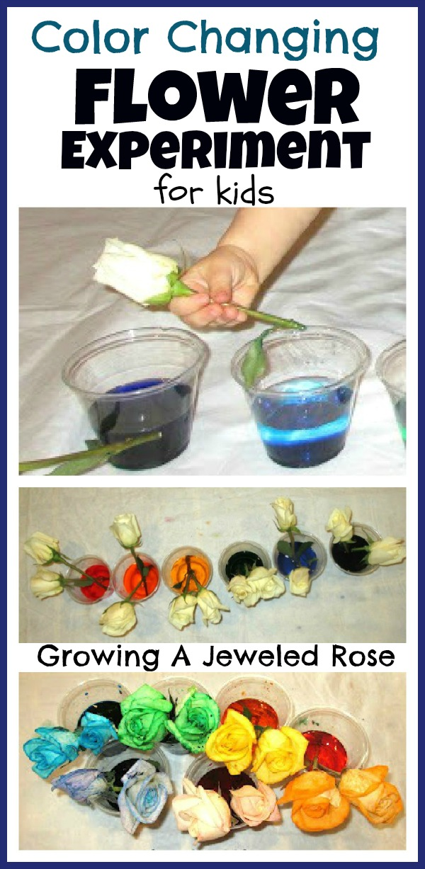Flower experiment for kids growing a jeweled rose for Food coloring roses