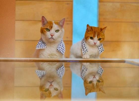 foto kucing lucu bernama Nyalan dan Deshi 05