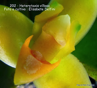 Maxillaria villosa