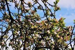 Apfelbaum...