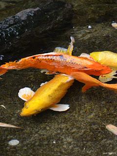 golden fins