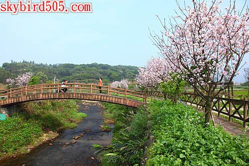 三芝櫻木花道2