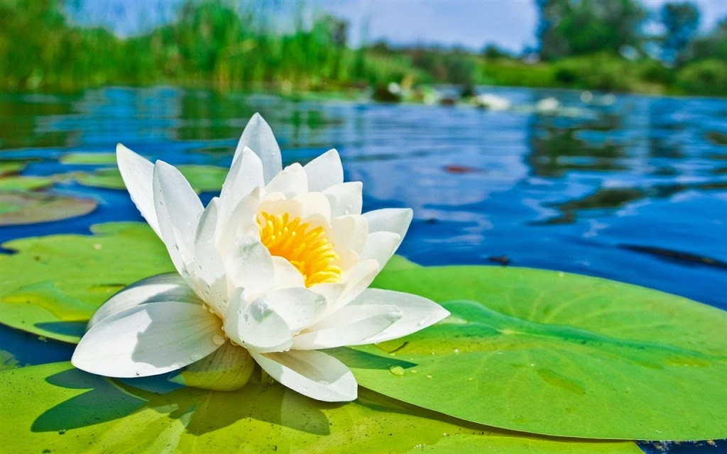 hình nền hoa sen trắng đẹp tinh khôi