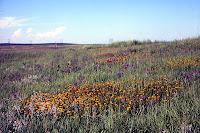 Coreopsis in Iowa prairie