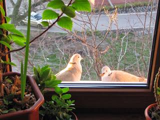 голуби, голуби на подоконнике, кормление голубей, кормим голубей, пара голубей, голубь, голубка