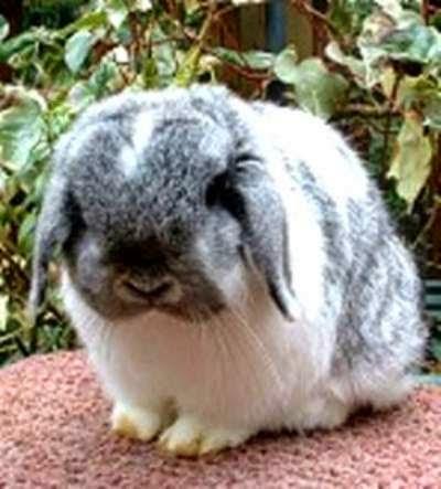 kelinci-holland-lop