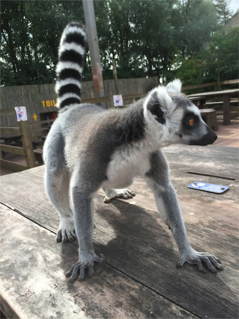 South Lakes Safari Zoo ring tailed lemur
