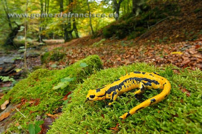 Salamandra en su hábitat
