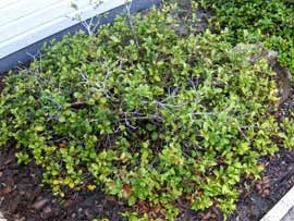 Fertilizing shrubs with slow release worm castings