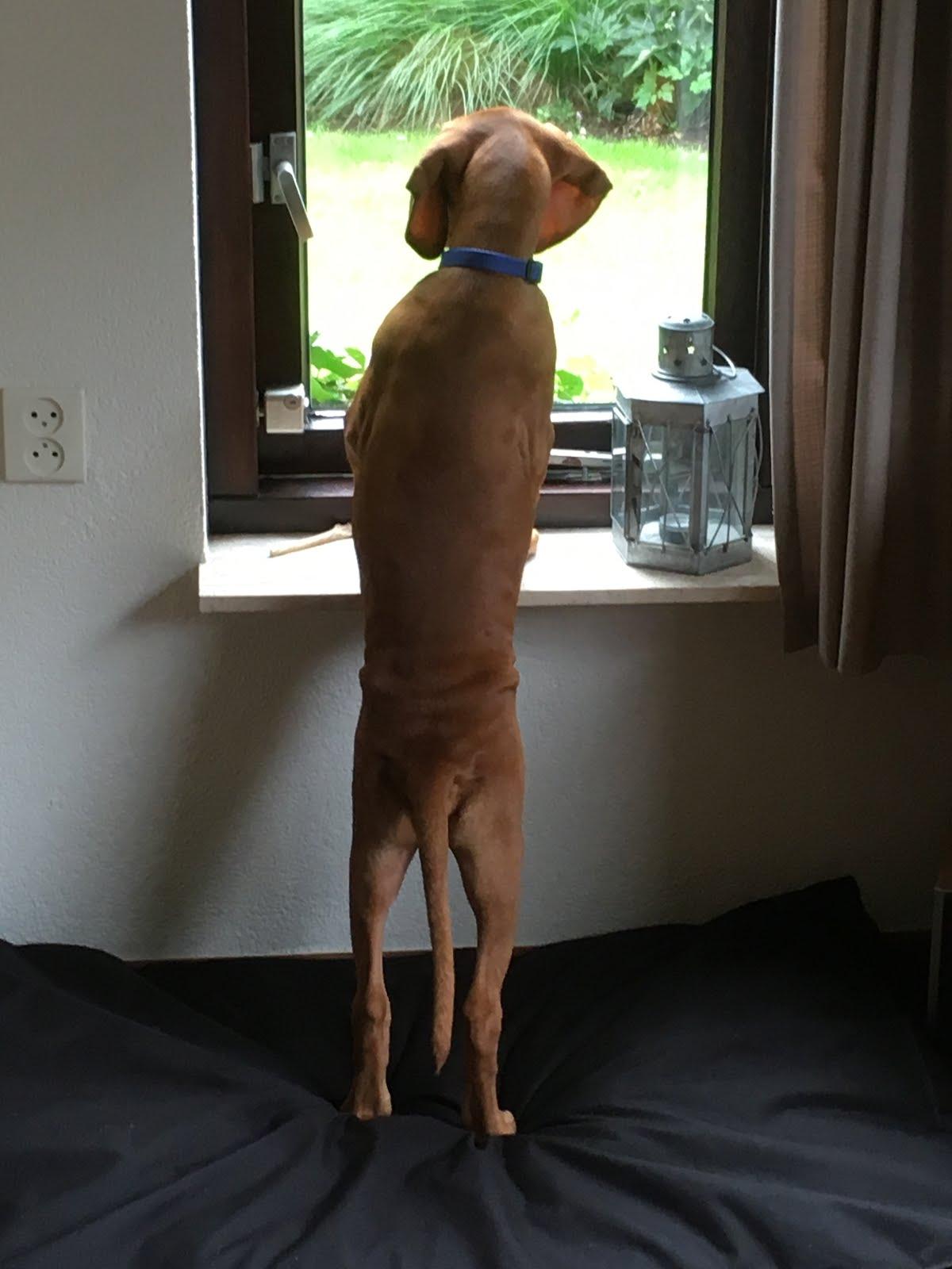 Belevenissen van onze Vizsla-pup
