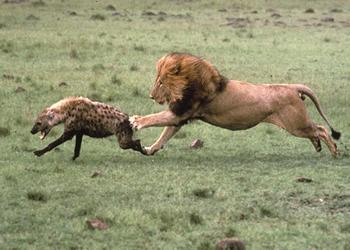 imagenes de animales cazando - ¡Impresionante! León batalla por cazar a un escurridizo