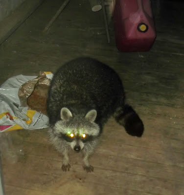 Racoon peers through door