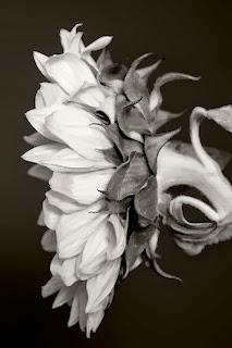 Gambar Bunga Matahari Hitam Putih I