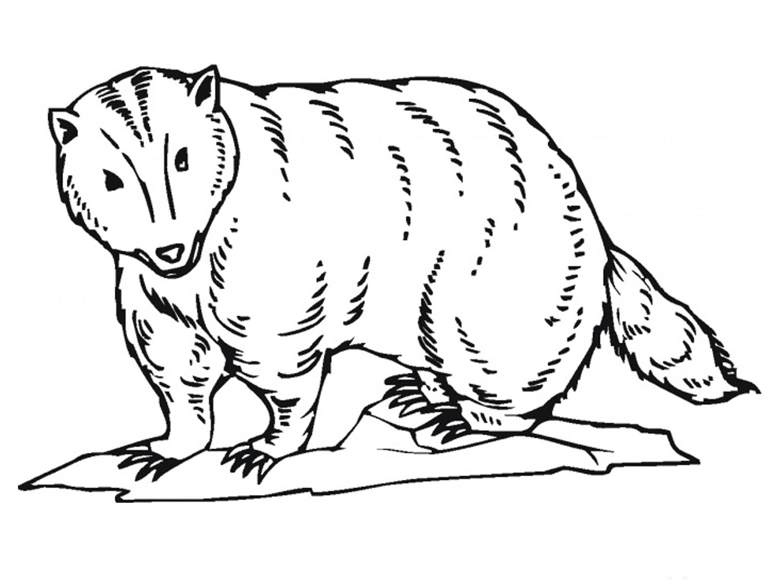 Badgers Free Coloring Pages