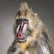 baboon funny face - Facebook photo comment