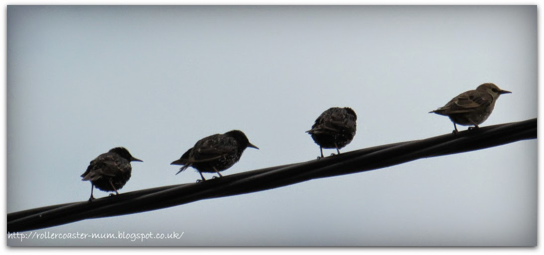 fledgling Starlings