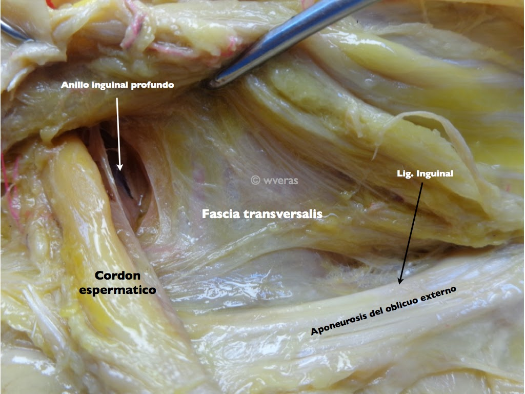 Region Inguinal | Anatomiawveras/Anatomywveras