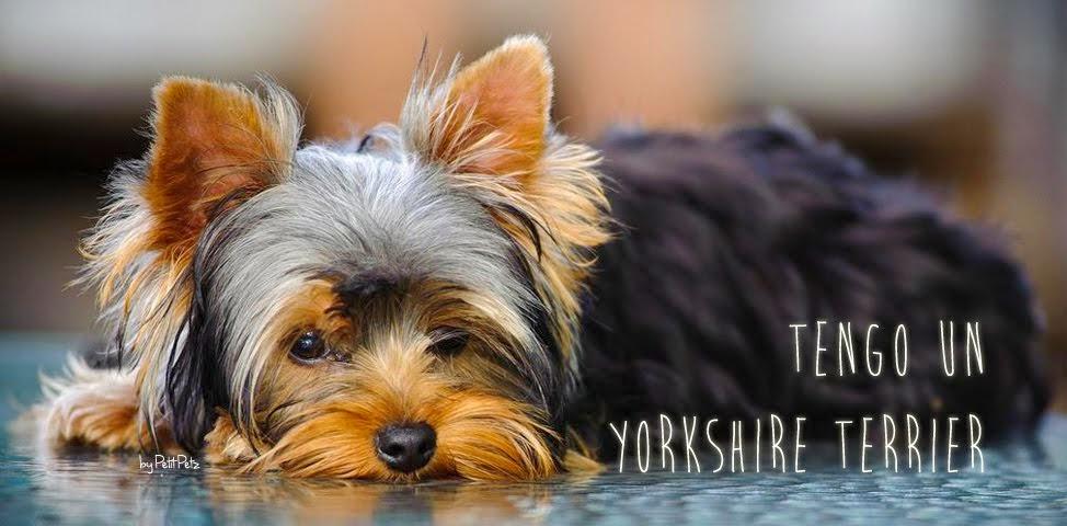 Mi Yorkshire Terrier