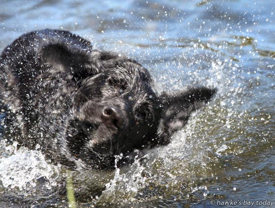 Meg, an English labrador from Napier, clearing her ears after swimming in the Tutaekuri River off the end of Guppy Rd, Taradale, Napier in the hot sunny weather. photograph