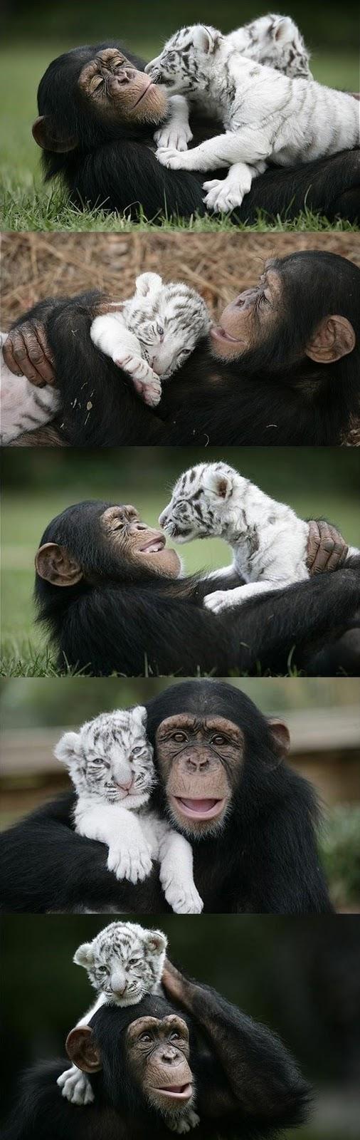 monyet dan harimau