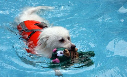 Dog Talk 101 Swimming Lessons For Dogs