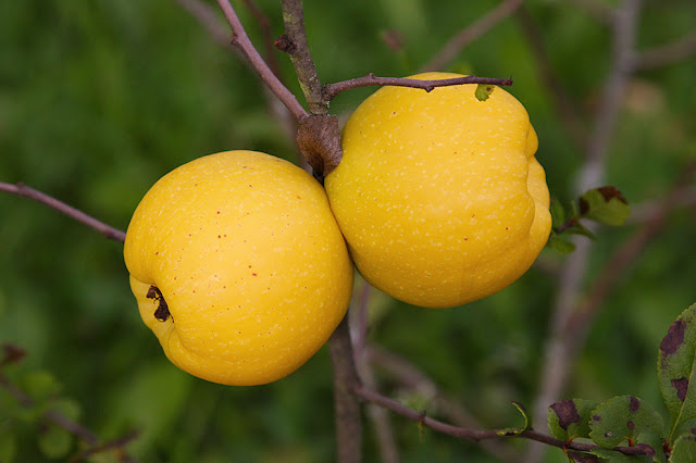 плоды цидонии