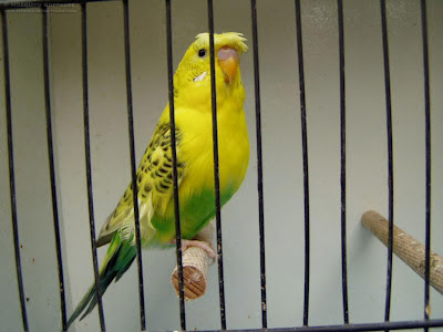 Budgie-cage-172.jpeg