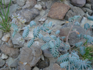 Tanaman Kebangkitan Selaginella Lepidophylla