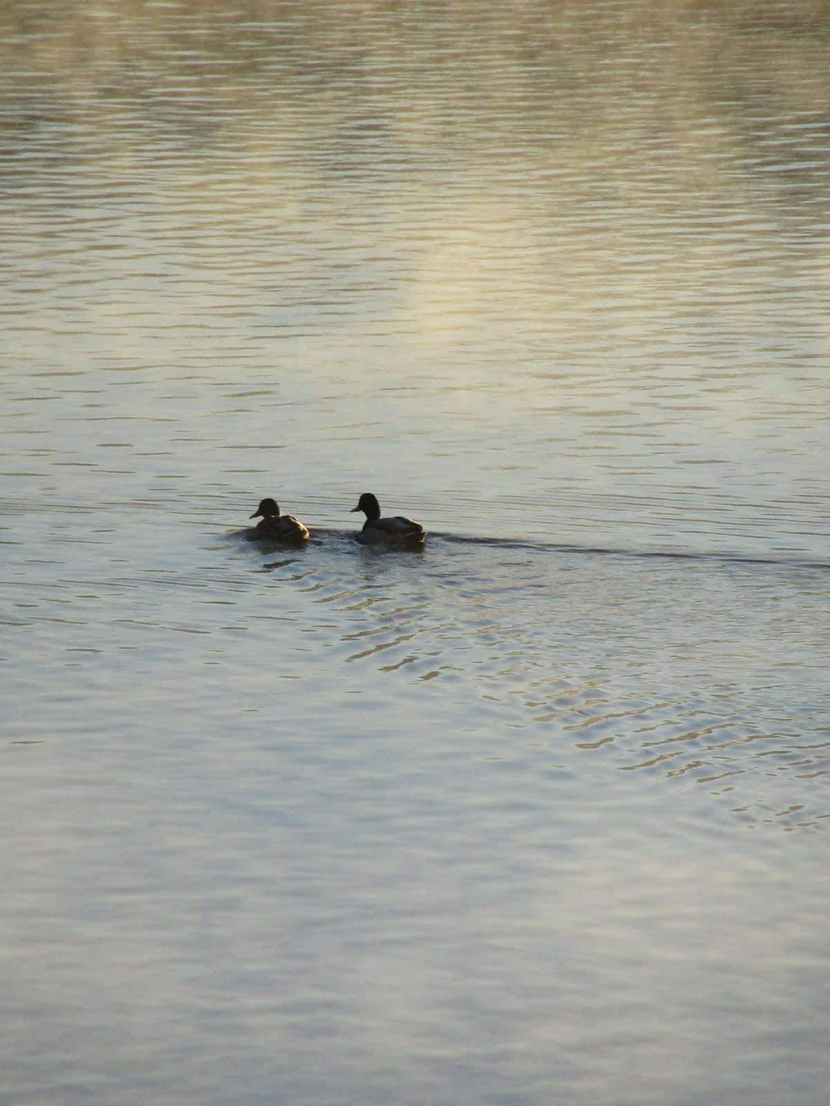 Ducks Swimming