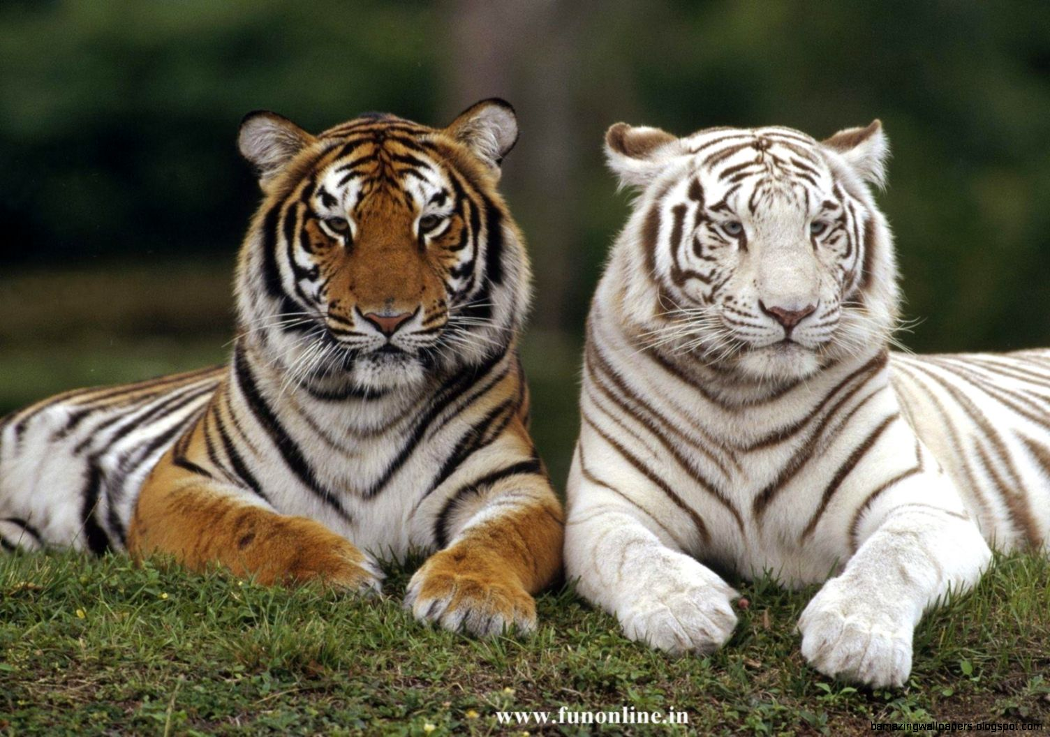 Tigers Wallpapers White Tiger Wallpapers Download Tigers Wallpapers