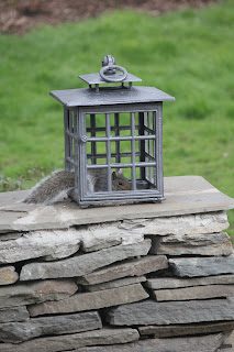 A squirrel finds food no matter where I picked up this cool lantern at an estate sale, and was about to put the candle inside when I came up with the brilliant idea of putting bird seed in instead. Then the birds could get in, but the squirrels...nevermind.