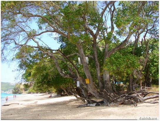 Tahukah Anda Bahawa Inilah Pokok Paling Beracun Di Dunia