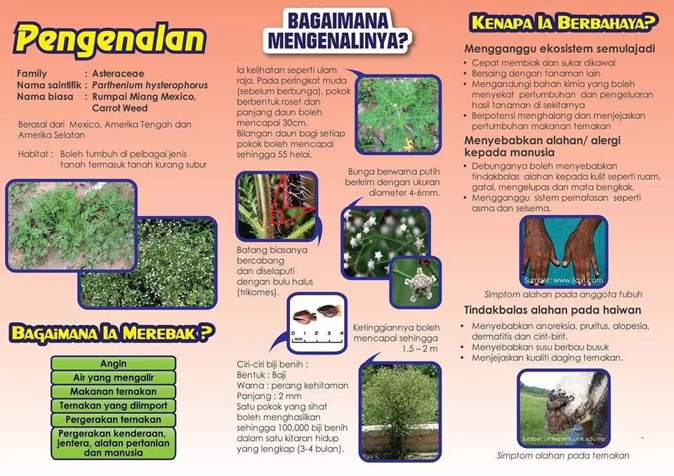 Bahaya Rumpai Miang Mexico Atau Parthenium Hysterophorus