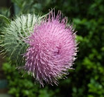 Thistle Pic of the Week
