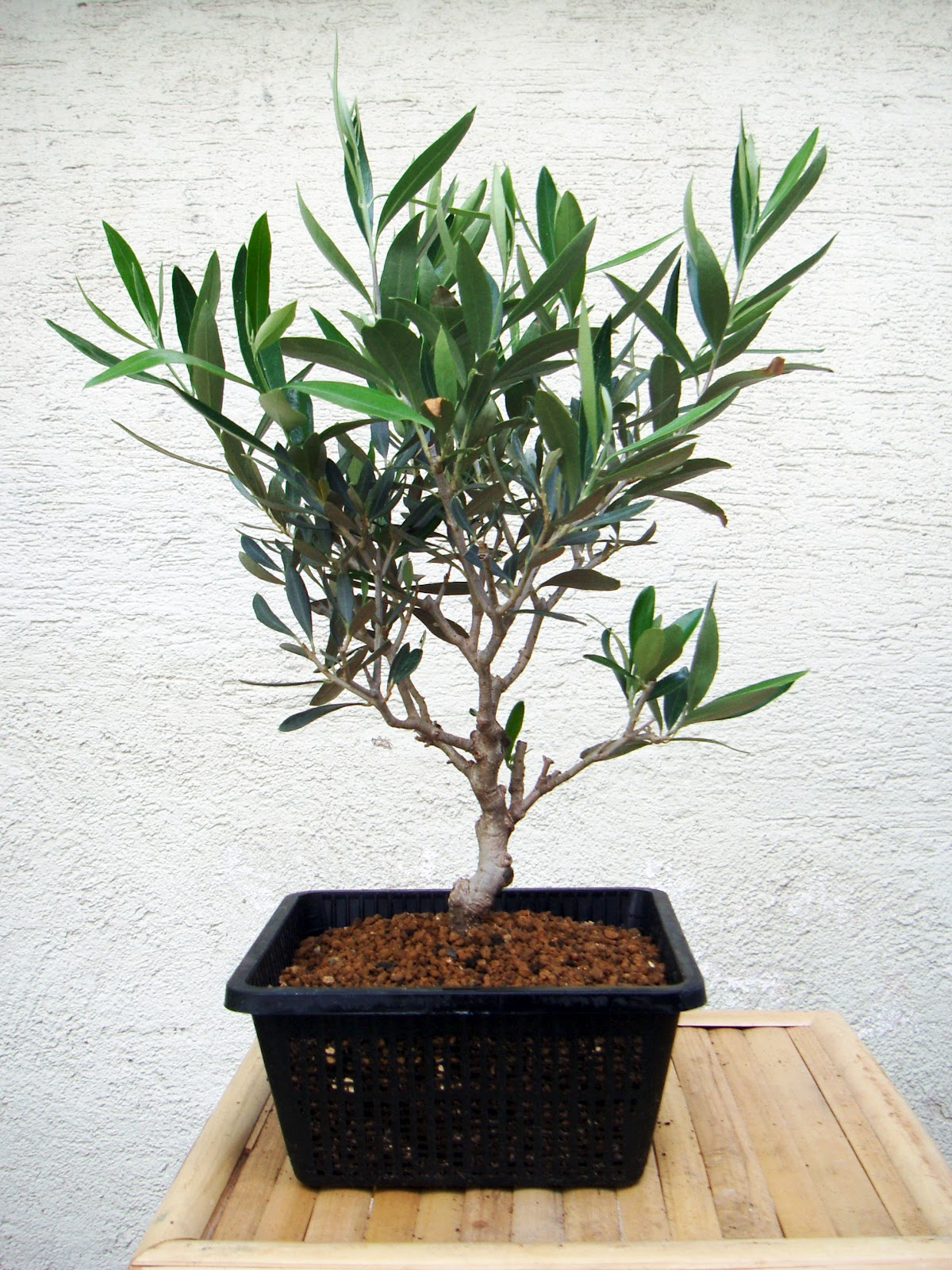 My gardening archive olive tree for Pruning olive trees in pots