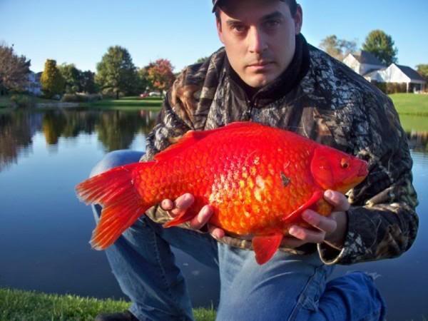 World 39 s biggest goldfish for World largest fish