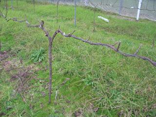 pemangkasan pohon anggur