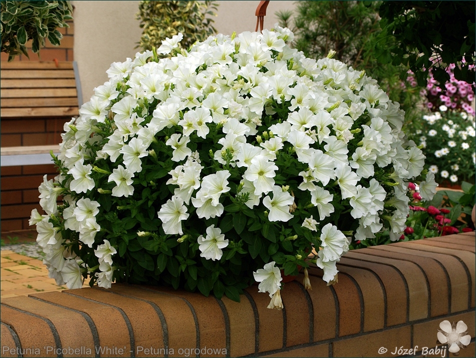 http://3.bp.blogspot.com/-8D6N6p3xeLM/UZkxP1smE-I/AAAAAAABBLU/ReKUZCMU-BA/s1600/Petunia+%27Picobella+White%27+-+Petunia+ogrodowa++1.jpg